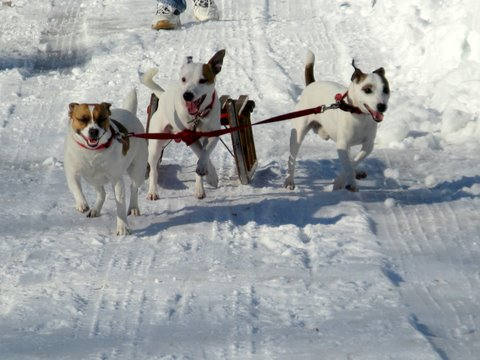 Cricket, Caeser and Cracker Pulling a Sled